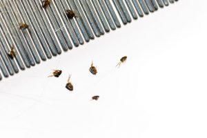 FAQ fleas